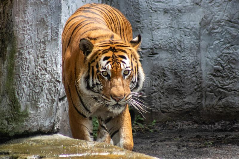 Adult male tiger stock photos