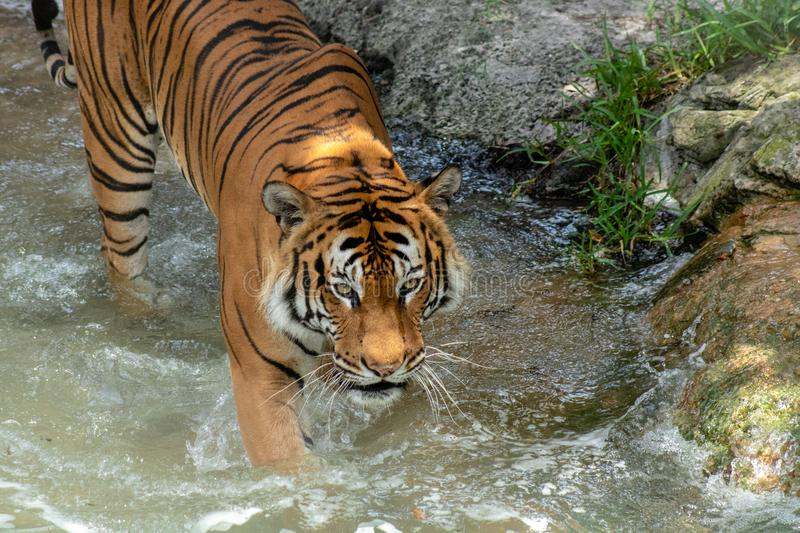 Adult male tiger. Picture of an adult male tiger stock photo