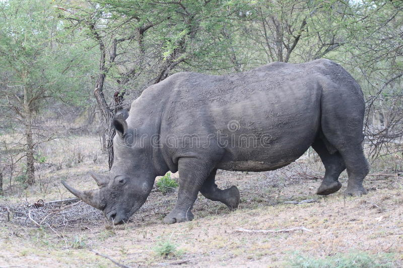 Adult male white Rhino. An adult male white rhino on the move stock photos