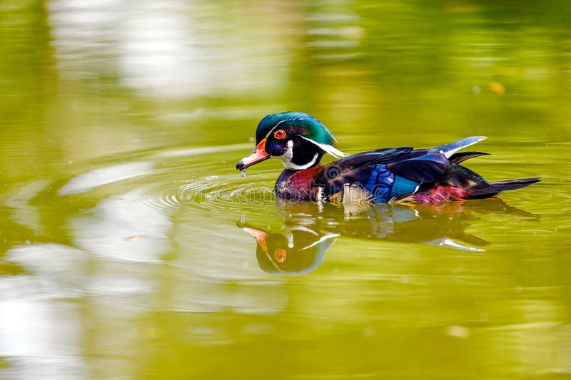 An adult male wood duck or Carolina duck Aix sponsa on the lake in Stanley Park. An adult male wood duck or Carolina duck Aix sponsa swimming on the lake and stock photography