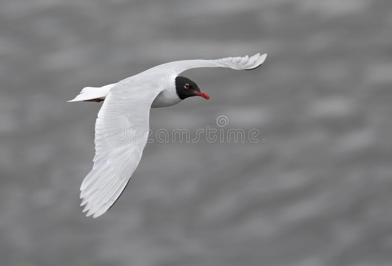 An adult Mediterranean gull Ichthyaetus melanocephalus in flight over the water in the port of Bremen Germany. Looking on top of an adult Mediterranean gull royalty free stock image