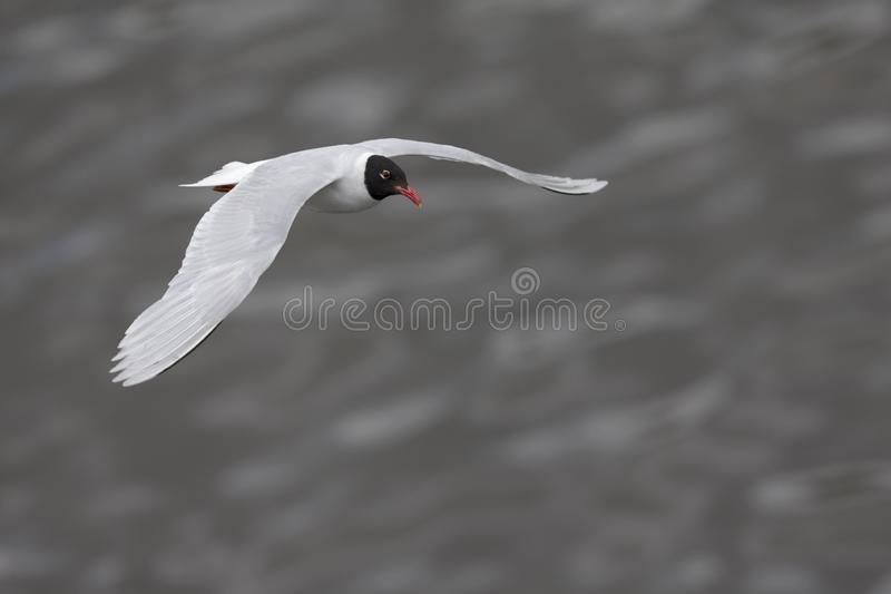 An adult Mediterranean gull Ichthyaetus melanocephalus in flight over the water in the port of Bremen Germany. Looking on top of an adult Mediterranean gull stock image