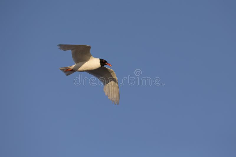 An adult Mediterranean gull Ichthyaetus melanocephalus in flight in the sky in the port of Bremen Germany. An adult Mediterranean gull Ichthyaetus stock photography
