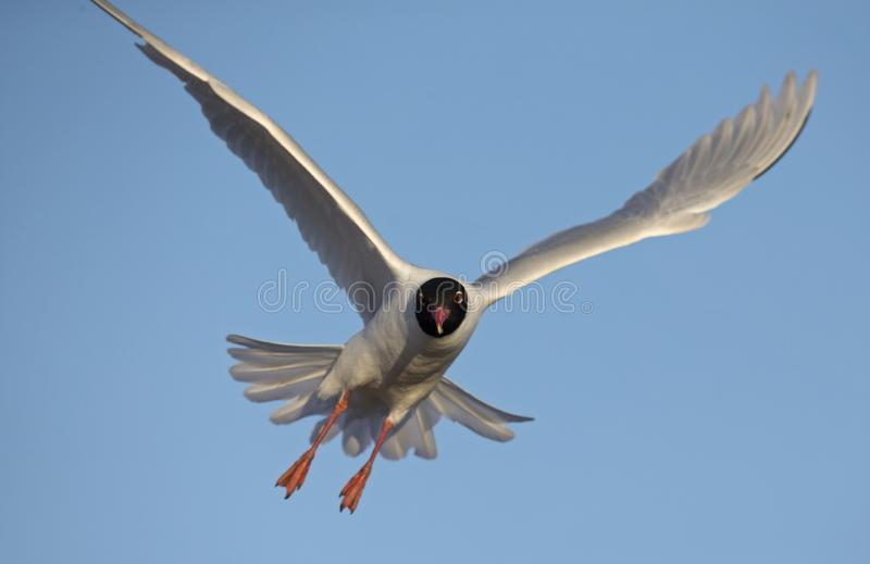 An adult Mediterranean gull Ichthyaetus melanocephalus in flight in the sky in the port of Bremen Germany. An adult Mediterranean gull Ichthyaetus royalty free stock photography