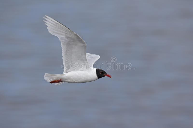 An adult Mediterranean gull Ichthyaetus melanocephalus in flight over the water in the port of Bremen Germany. An adult Mediterranean gull Ichthyaetus royalty free stock photography