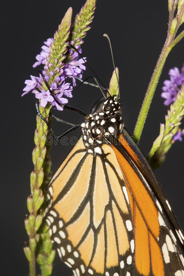 Monarch butterfly on blue vervain flowers in New Hampshire. royalty free stock images