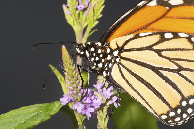 Monarch butterfly on blue vervain flowers in New Hampshire. royalty free stock photo