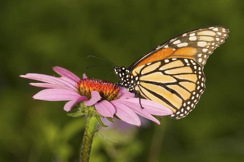 Monarch butterfly on a purple cone flower in Connecticut. Adult monarch butterfly, Danaus plexippus, order Lepidoptera, with its wings folded on a purple stock photos