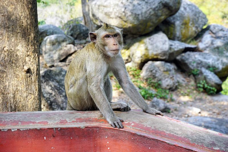 Adult monkey sit in temple royalty free stock photos