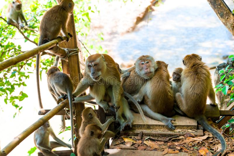 Adult monkeys and young on the trail in Thayland, Krabi. Resort stock image