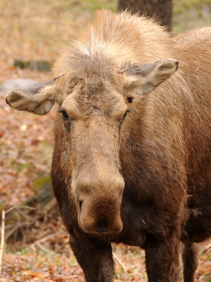 Adult moose. Front view of adult moose in the Minnesota wilderness royalty free stock photo