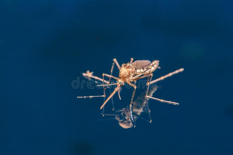 Adult mosquito over water - newborn insect diptera fly. In Brazil stock image