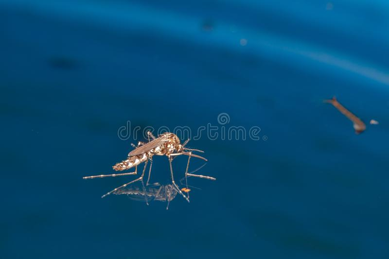 Adult mosquito over water - newborn insect diptera fly. Disease healty medical royalty free stock photo