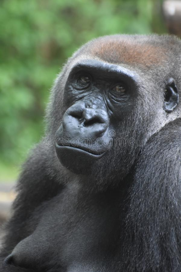Adult Mountain Gorilla with Expressive Face. Stern-looking adullt Mountian gorilla royalty free stock images