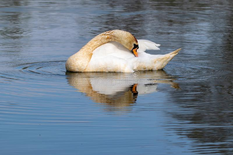 Adult mute swan cygnus olor with discoloured feathers from disturbing lake sediment during feeding. Reflection on still lake water stock images