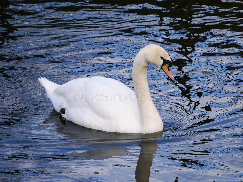 Adult Mute Swan / Cygnus Olor swimming on a lake with reflections of white sky on the water surface stock photos