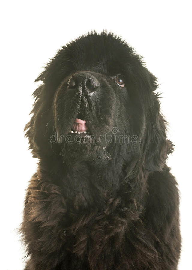 Adult newfoundland dog. In front of white background stock photography
