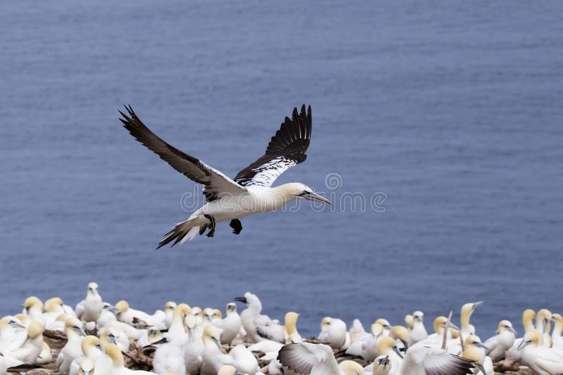 Adult northern gannet flying above group of other birds royalty free stock photo