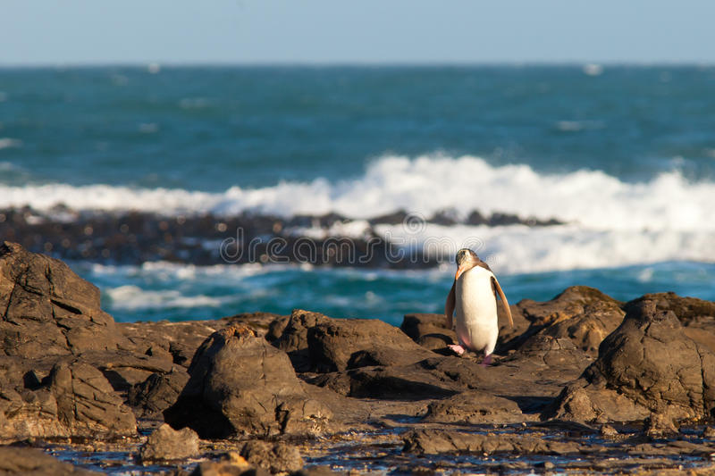 Adult NZ Yellow-eyed Penguin or Hoiho on shore. Adult native New Zealand Yellow-eyed Penguin, Megadyptes antipodes or Hoiho, waddling home to nest over rocky royalty free stock images