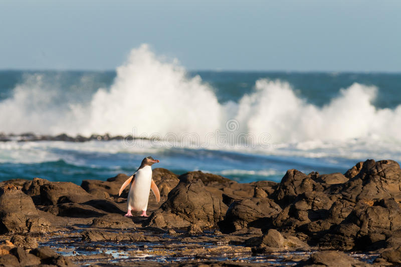 Adult NZ Yellow-eyed Penguin or Hoiho on shore. Adult native New Zealand Yellow-eyed Penguin, Megadyptes antipodes or Hoiho, waddling home to nest over rocky royalty free stock image
