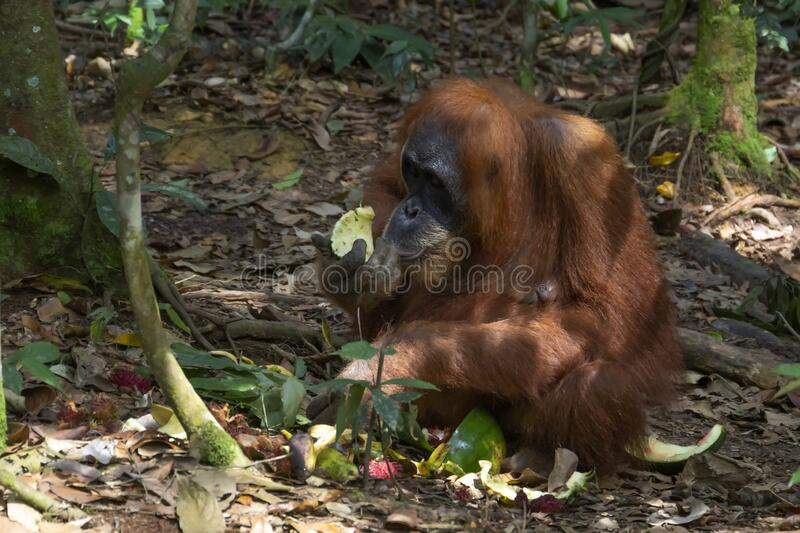 Adult orangutan eats food left by tourists in a natural habitat. Close-up royalty free stock images