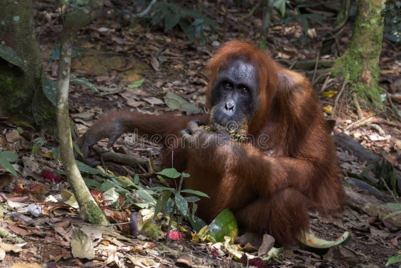 Adult orangutan eats food left by tourists in a natural habitat. Close-up royalty free stock photos
