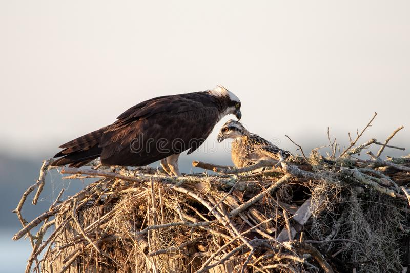 Adult osprey with a chick in a nest. royalty free stock photography
