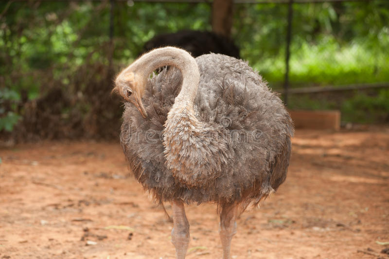 The Adult ostrich enclosure. Curious african ostrich. Standing in the park royalty free stock photography