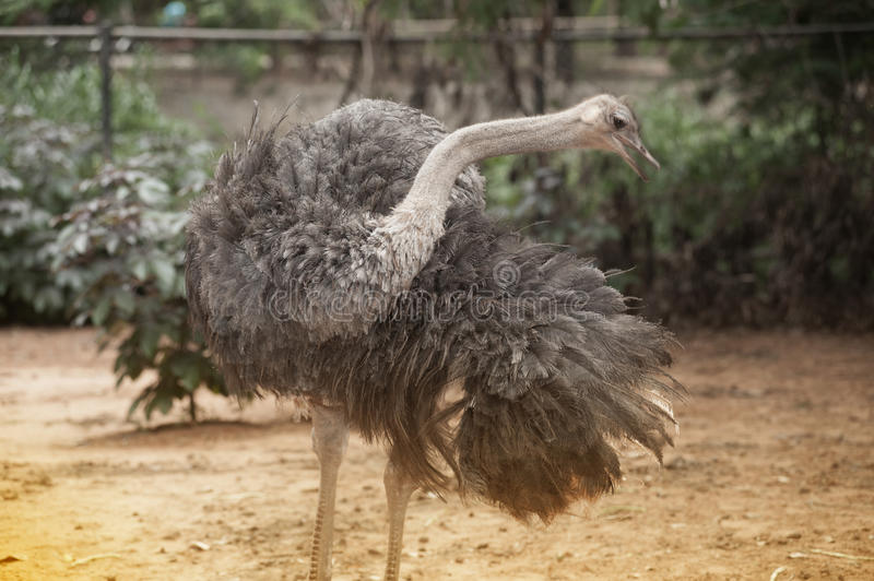 The Adult ostrich enclosure. Curious african ostrich. Standing in the park stock photos