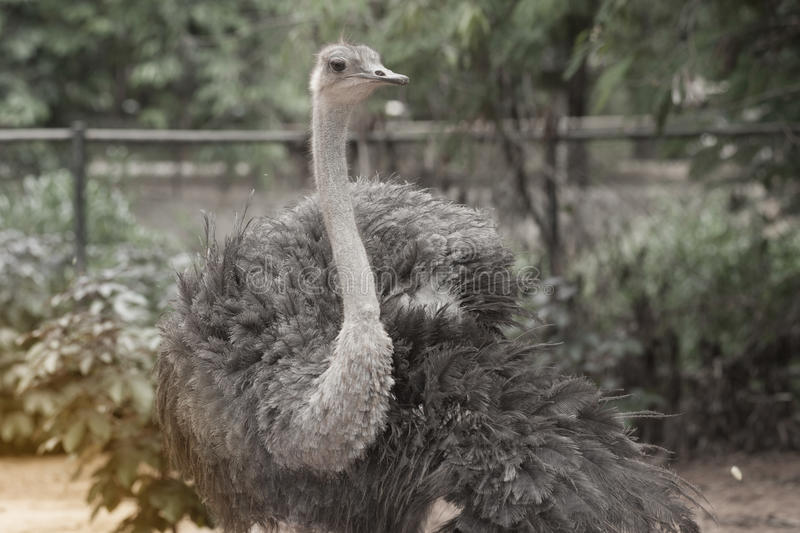 The Adult Ostrich enclosure. Curious African Ostrich. Standing in the park royalty free stock images