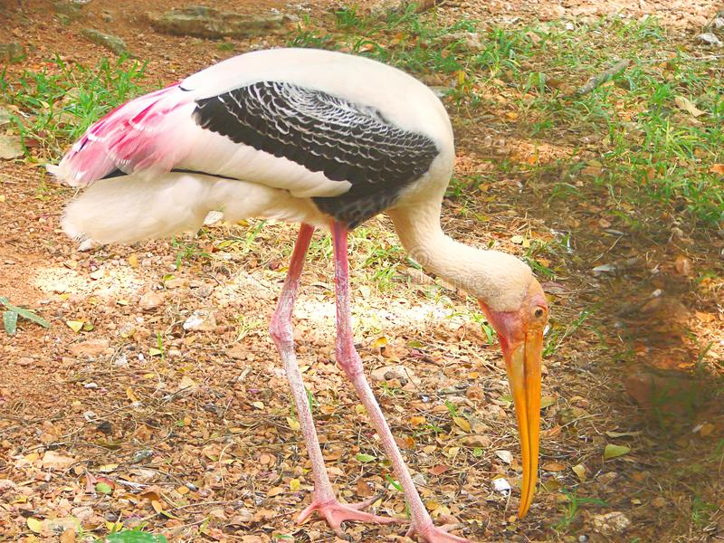 An Adult Painted Stork - Mycteria leucocephala. A Painted Stork, also known as Mycteria leucocephala, is characterized by presence of tertiary pink feathers stock photo