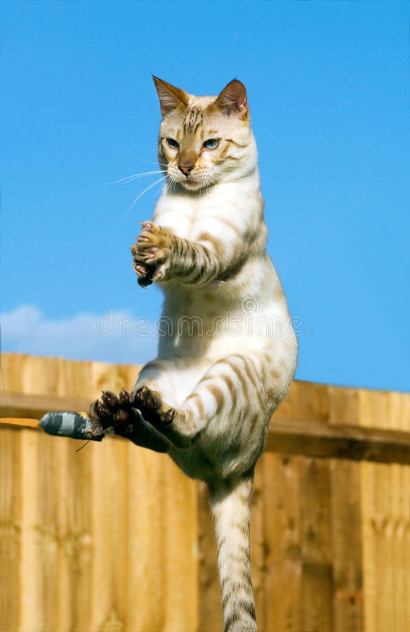 Adult Pedigree Snow Bengal Mid Flight Missing a To. Phot of an Adult Pedigree Snow Bengal Mid Flight Missing a Toy Mouse stock photography