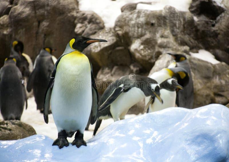Adult penguin stock photo