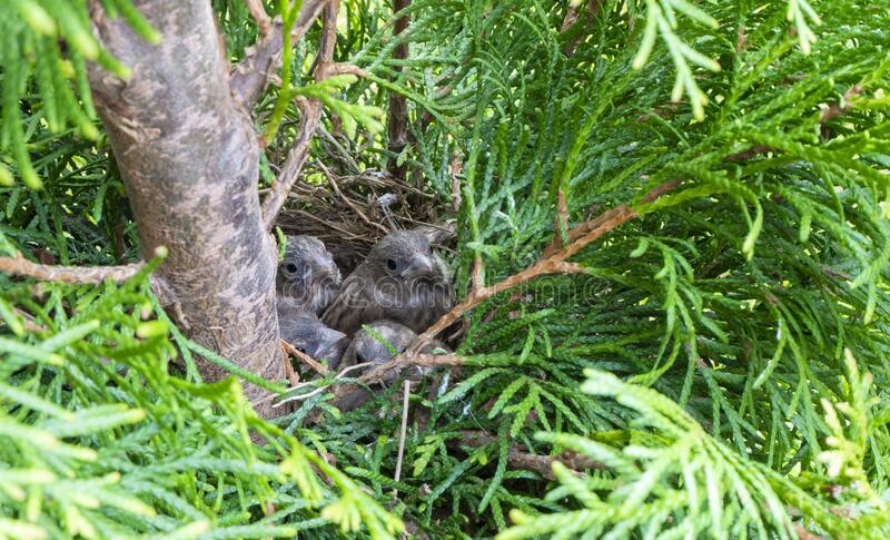 Baby Birds Ready To Fly From Nest Stock Image - Image of ...