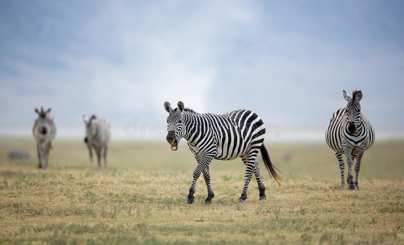 Adult Plains Zebra in the Ngorongoro Crater, Tanzania stock photography