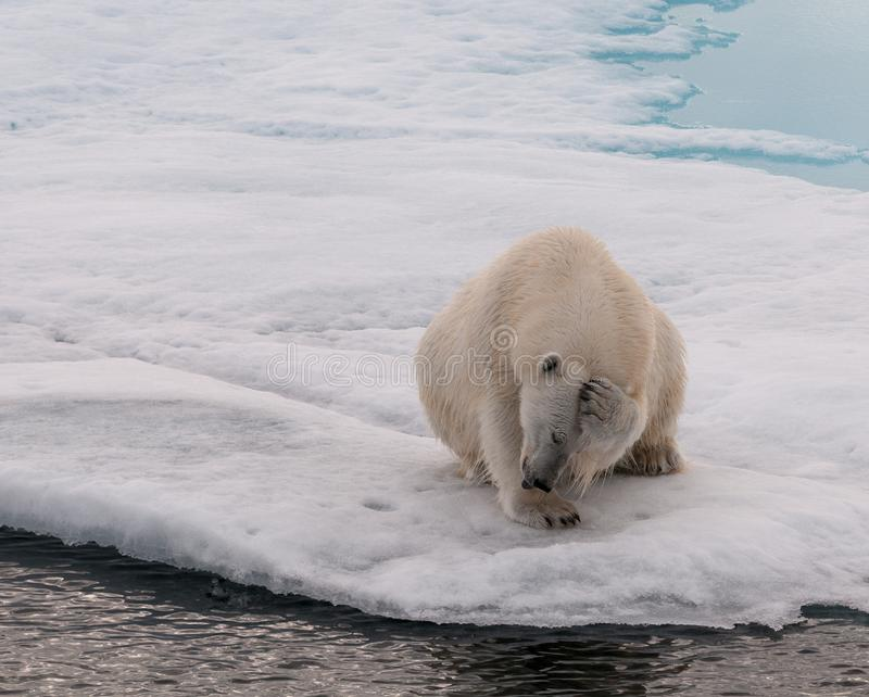 Adult Polar Bear scratching its head, on sea-ice, Svalbard stock images
