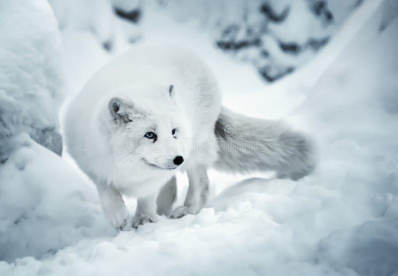Adult polar fox on white snow unfocused background royalty free stock image