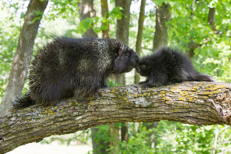Adult porcupine kissing baby porcupine. During springtime royalty free stock images