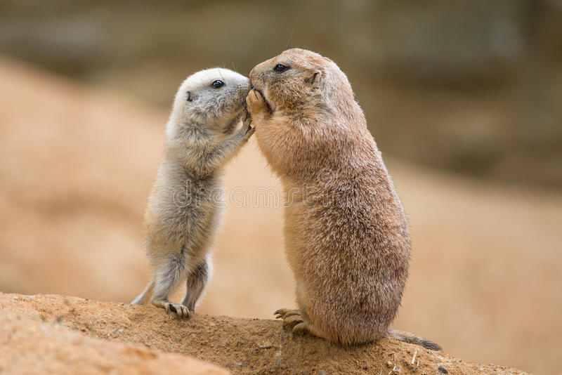 Adult prairie dog (genus cynomys) and a baby sharing their foo. D royalty free stock photography