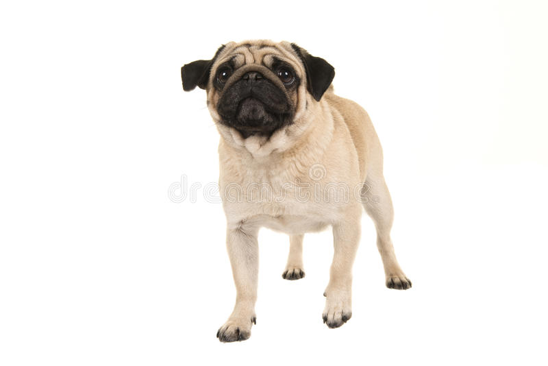 Adult pug dog walking towards the camera looking up seen from the front royalty free stock image