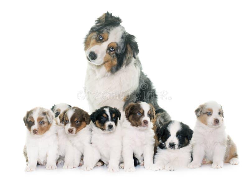 Adult and puppies australian shepherd stock image