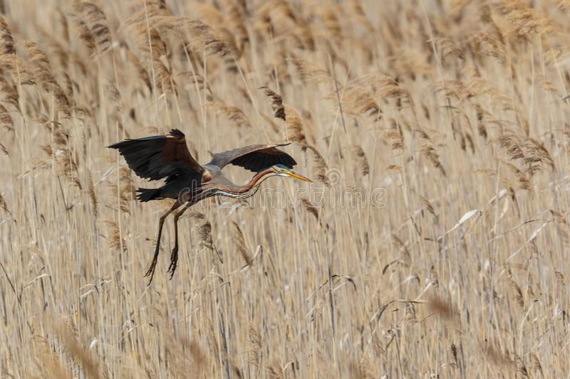 An adult Purple Heron, Ardea purpurea in flight. dropping in to royalty free stock photography