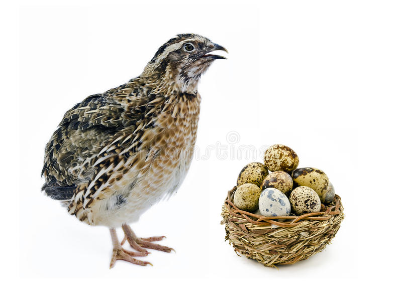 Adult quail and basket with its eggs stock images