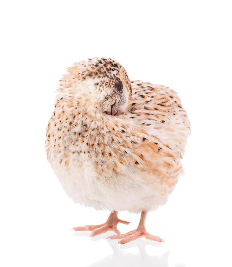 Adult quail royalty free stock photos