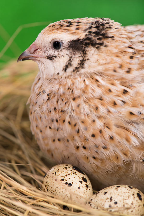 Adult quail. Cute adult quail with eggs in the straw nest over bright green background royalty free stock photography