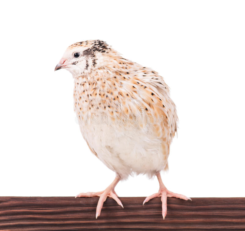 Adult quail. Cute adult quail on the perch isolated over white background stock images