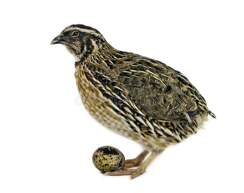 Adult quail with egg isolated on white stock photo