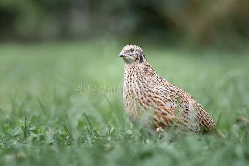 Adult Quail hen royalty free stock image