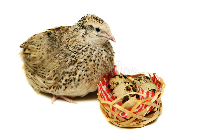 Adult quail with its eggs on white stock photos