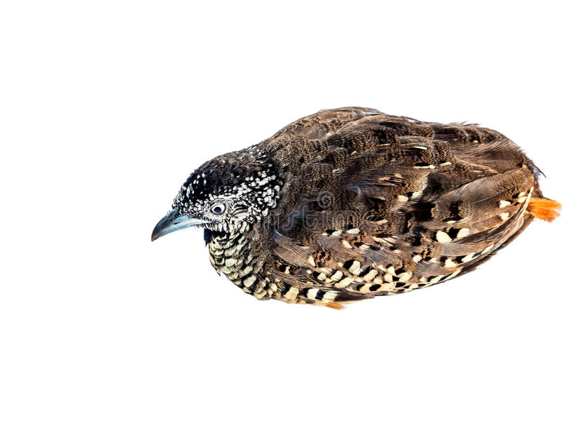 Adult quail on white background royalty free stock photography